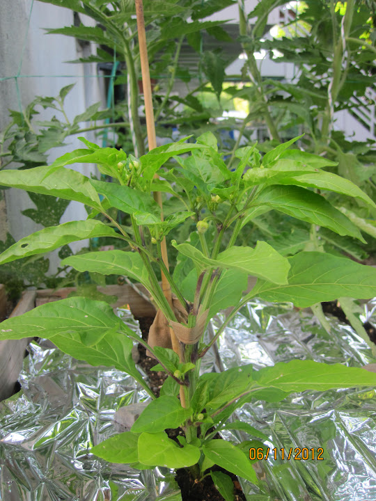 Pruning pepper plants or removing early blossoms Pepperplants%2520004