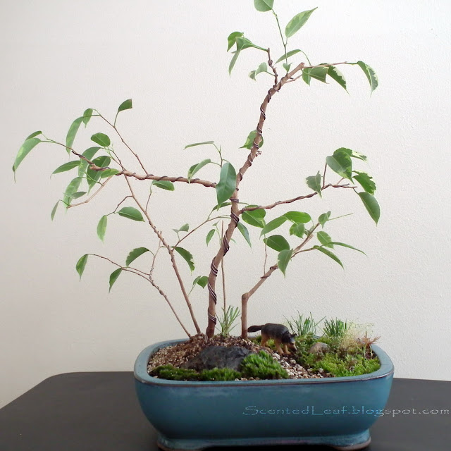 Wolf, the Guardian of Miniature Ficus Forest - group of 5 ficus benjamina variegated