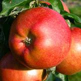 Майрок яблоня купить