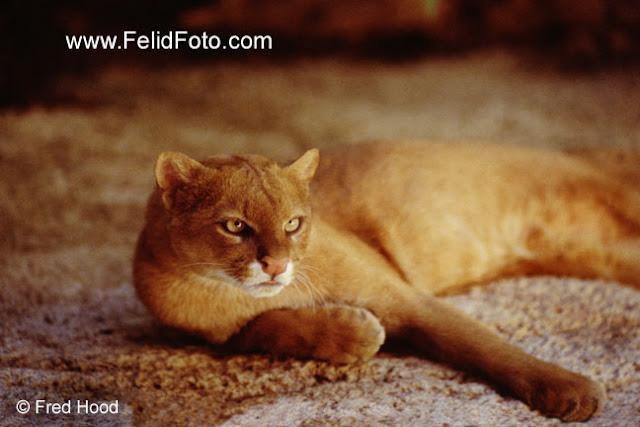 Red jaguarundi wild cat