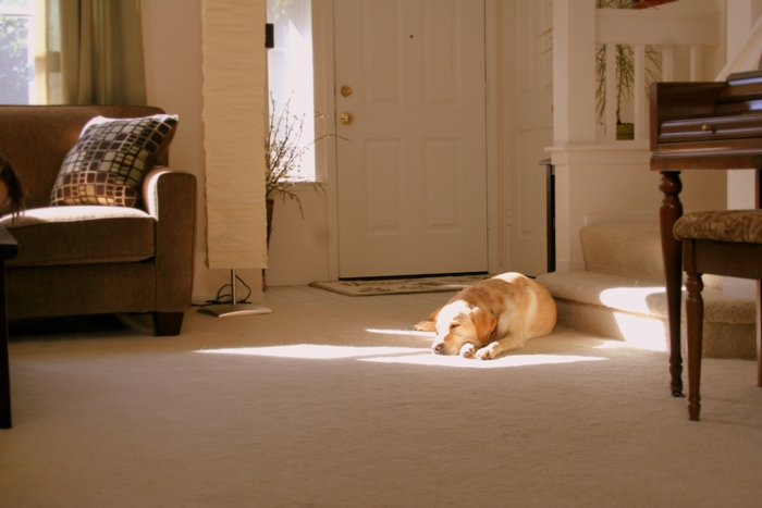 cabana yellow lab laying in a patch of sunshine on the carpet of our living room, she is sleeping and blending in nicely with the neutral colors of our decor