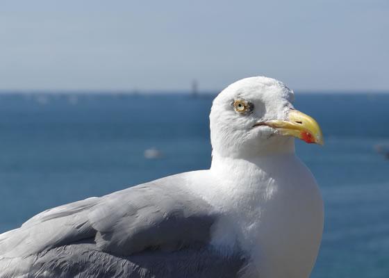1578.jpg - Les oiseaux � Saint-Malo par Bretagne-web.fr