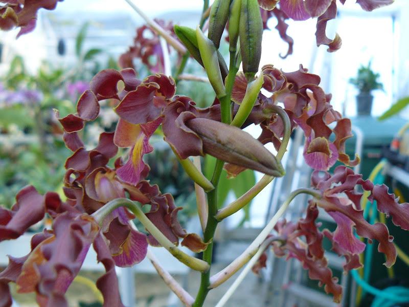 Myrmecophila, vendu pour lueddemanniana mais c'est pas ça Myrmecophylla
