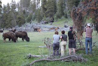 Črede bizonov v naravnem okolju