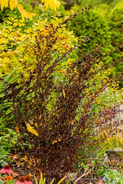 Physocarpus Little Devil Physocarpus-little-devil-131014-13rm