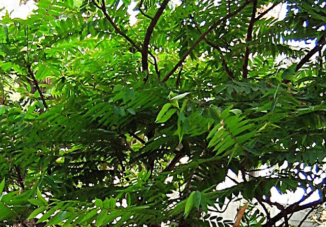 how to grow bilimbi tree