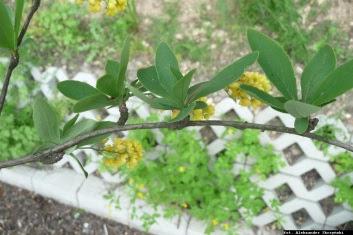 Berberys zwyczajny liście i krótkopędy Berberis vulgaris leaves