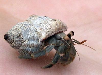 Hermit crab - photo#27