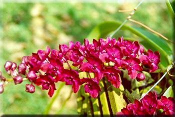 Растения из Тюмени. Краткий обзор - Страница 9 Rhynchostylis%252520gigantea%252520var%252520rubrum1