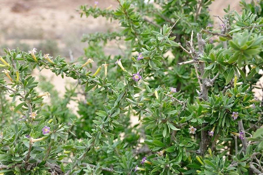 Растения пустыни Негев, Царский Шип или Атад. Эйн Йоркам. Экскурсия гида Светланы Фиалковой.