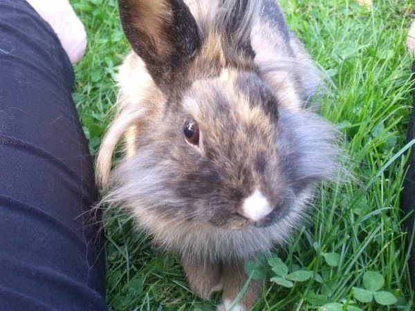 [adoptée]-Nala, lapine noire et marron, avec le bout du nez blanc Nala7-c9014