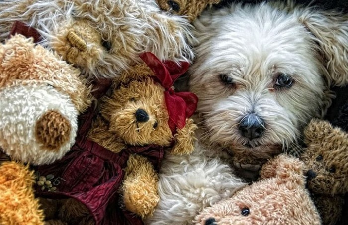 Camouflage Dog Hiding Within Teddy Bear
