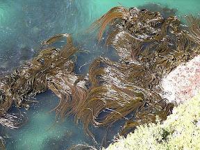 Algas Cosechadas Verano Podrían Ser Una Fuente Viable De Biocombustibles
