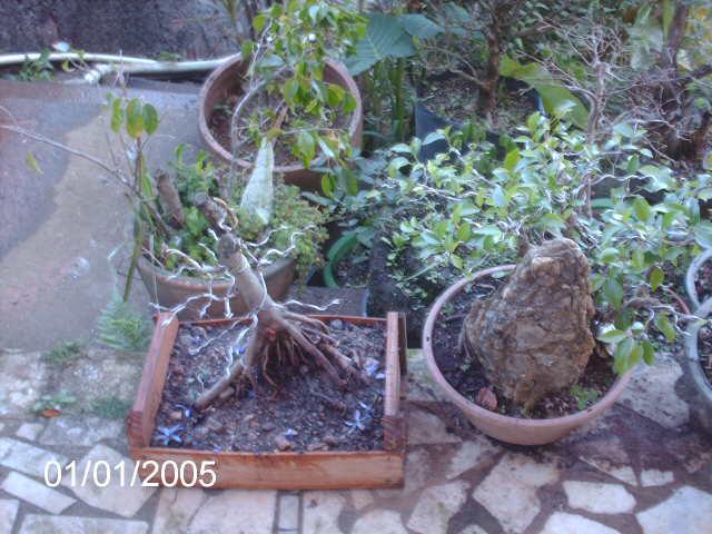 Ficus Microcarpa var. Indica... PICT1626