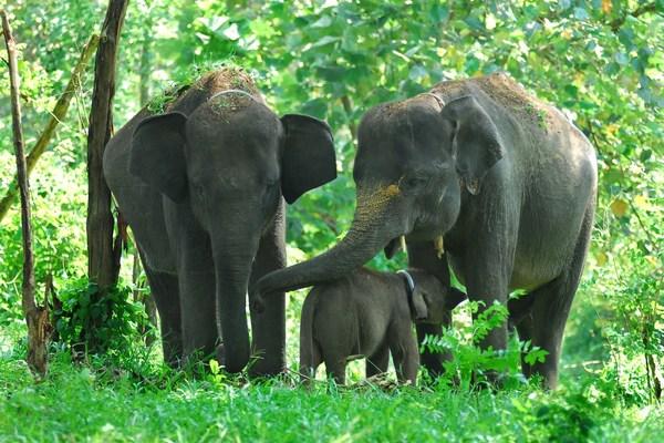 Gajah Sumatera Elephas maximus sumatranus