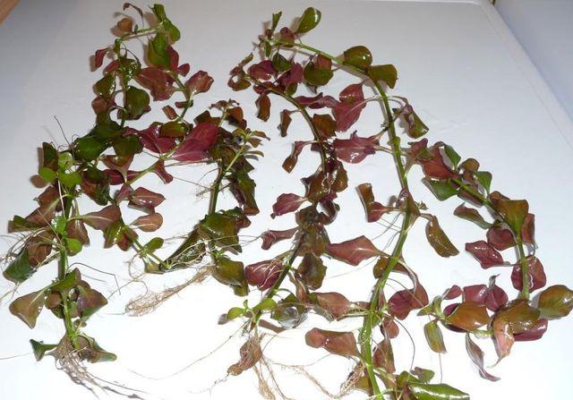 Людвигия болотная (Ludwigia palustris)