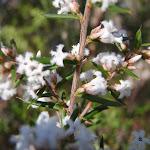 Bearded Heath flowers (Leucopogon ericoides) (177759)