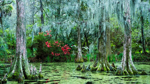 Cypress Trees and Spanish Moss, Magnolia Plantation, Charleston, South Carolina.jpg