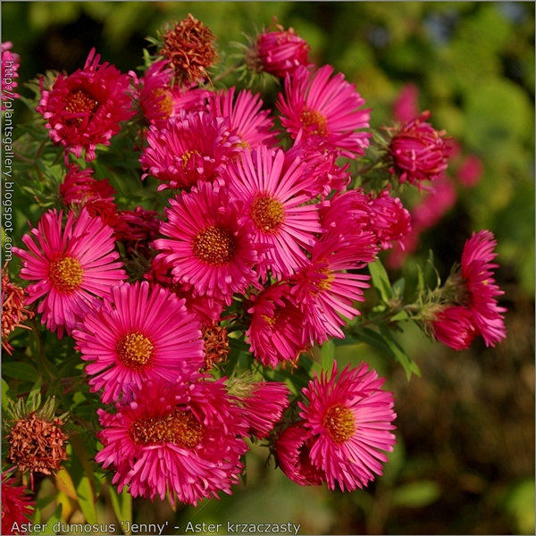 Aster dumosus 'Jenny' flowers - Aster krzaczasty 'Jenny' kwiaty