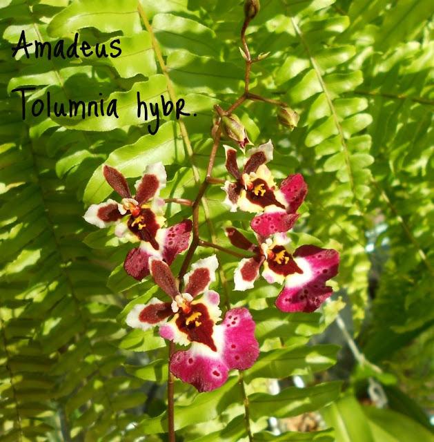 Толумния (Tolumnia) - Страница 2 DSCN3303
