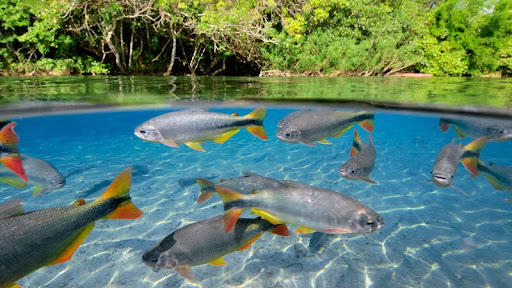 Characins or Piraputangas, Mato Grosso do Sul, Brazil.jpg