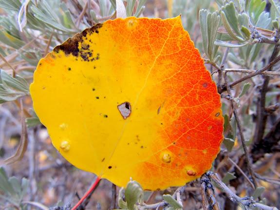 Aspen leaf in the sagebrush