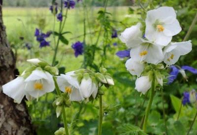 Valkoinen Siitepöly
