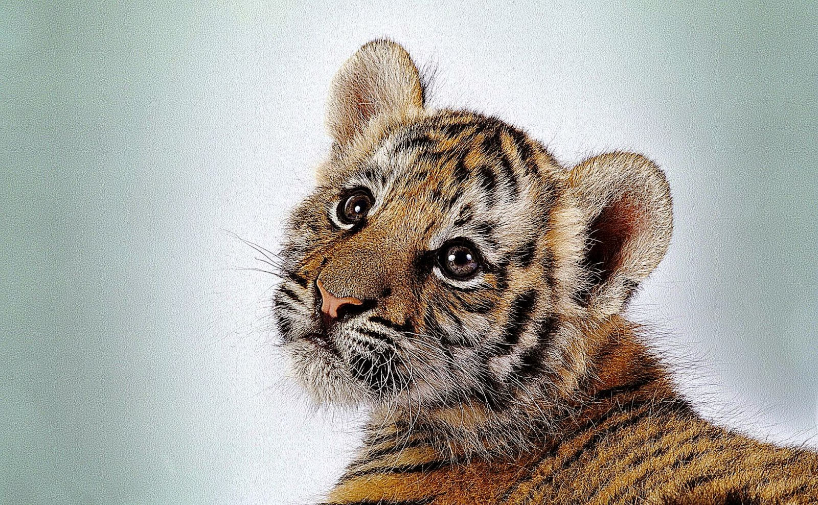 Baby Tiger Wallpaper 11 Backgrounds  Wallruru