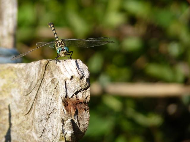 Petite serie de libellules et de de demoiselles! P1130262