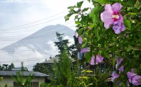 世界遺産登録の富士山と夏の茶花「ムクゲ」
