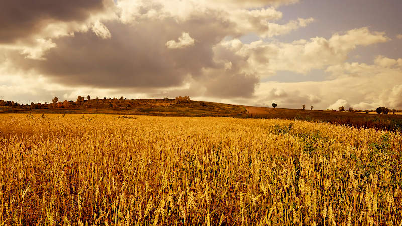 yellow fall wheat wallpaper