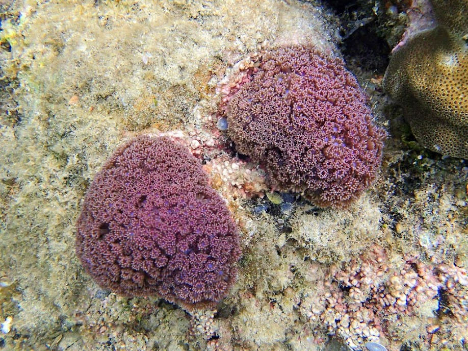 Goniopora sp. (Flower Pot Coral), Lusong Island, Coral Garden Reef, Palawan, Philippines.