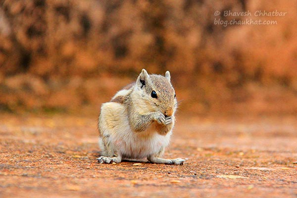 Funambulus pennantii / Five-striped palm squirrel / Northern palm squirrel