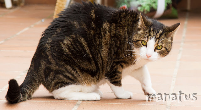 manatus foto fotografo mascotas gato