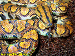 أجمل ثعبان في العالم The most beautiful snake in the world