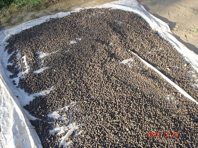 coffee seeds drying