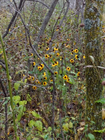 "Nature Study: Black Eyed Susans near ""our"" pond."