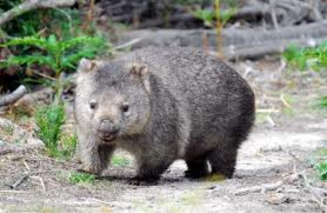 A wombat just going pass