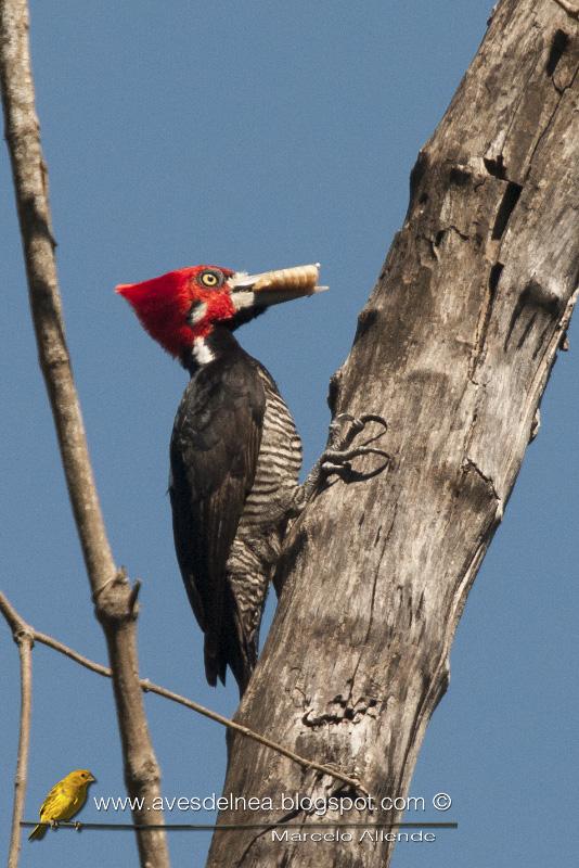 Carpintero garganta negra, Crimson-crested Woodpecker, Campephilus melanoleucos