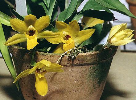 Растения из Тюмени. Краткий обзор - Страница 7 Promenaea%252520xanthina