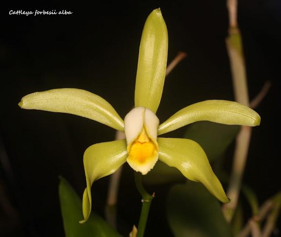 Cattleya forbesii alba IMG_0661b%2520%2528Medium%2529