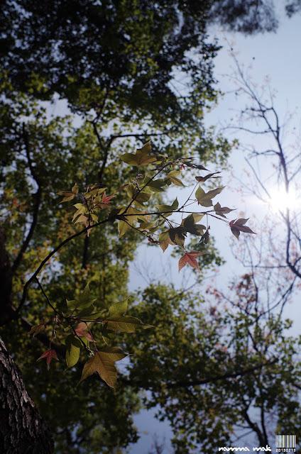 背光的楓葉