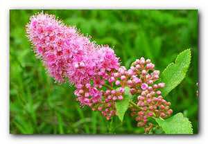 цветки спиреи