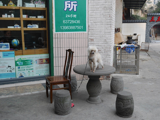 dog tied to a chair and standing on a traditional Chinese style table