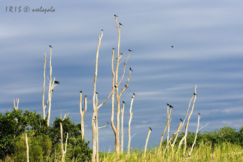 A Murder of Crows in the Everglades
