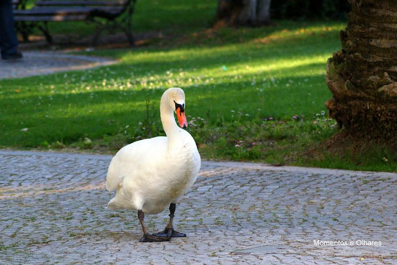 Cisne, Jardim do Bonfim, Setúbal, Portugal