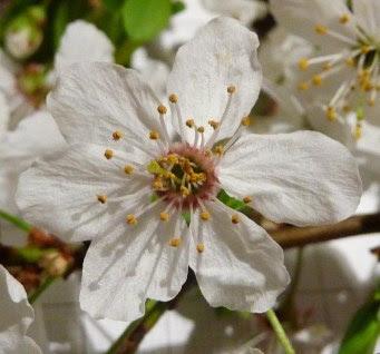 Śliwa wiśniowa, ałycza kwiat Prunus cerasifera flower