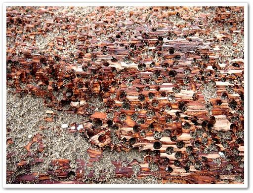 海邊充滿蛀孔的漂流木