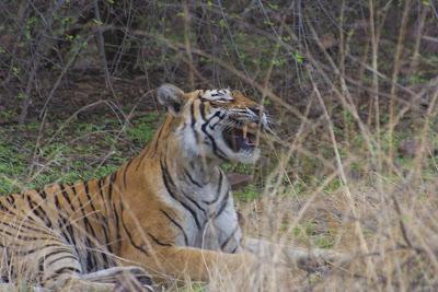 Tigre enseñando colmillos