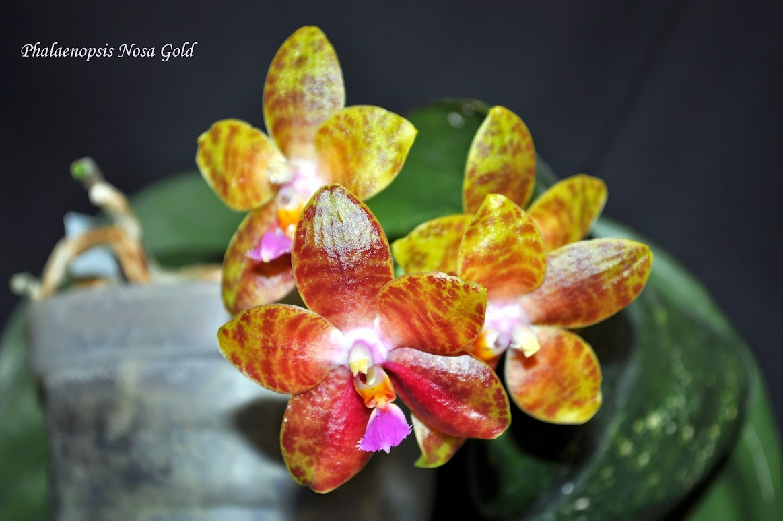 Phalaenopsis Nosa Gold - Mise à jour DSC_0030